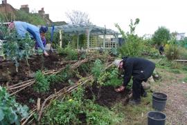Phil plants a new gooseberry plant
